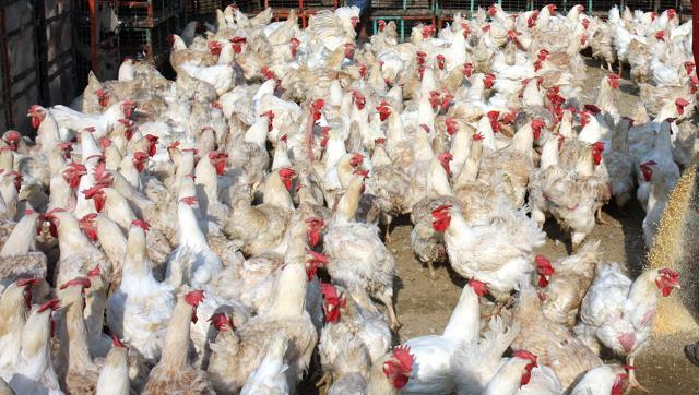 gosain-virendra-abhishek-poultry-market-dastdaar-gazipur_a3578c3e-9765-11e6-98f6-96638e85be2b (1)